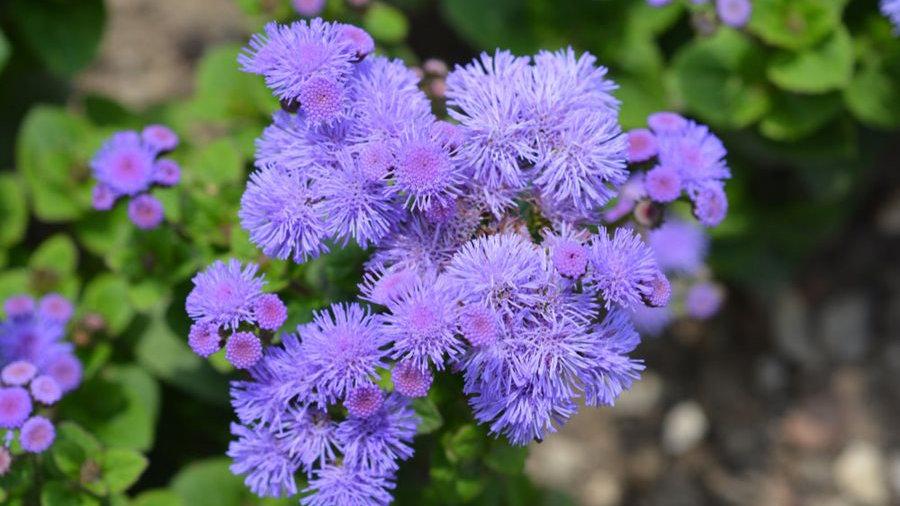 """Ageratum """"North Sea"""", 4-pack Plants"""