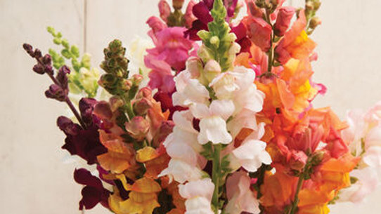 """Snapdragons """"Costa"""", 6-pack Plants"""