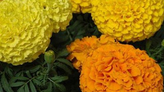 "Marigold ""Marvel Mix"", 4-pack Plants"