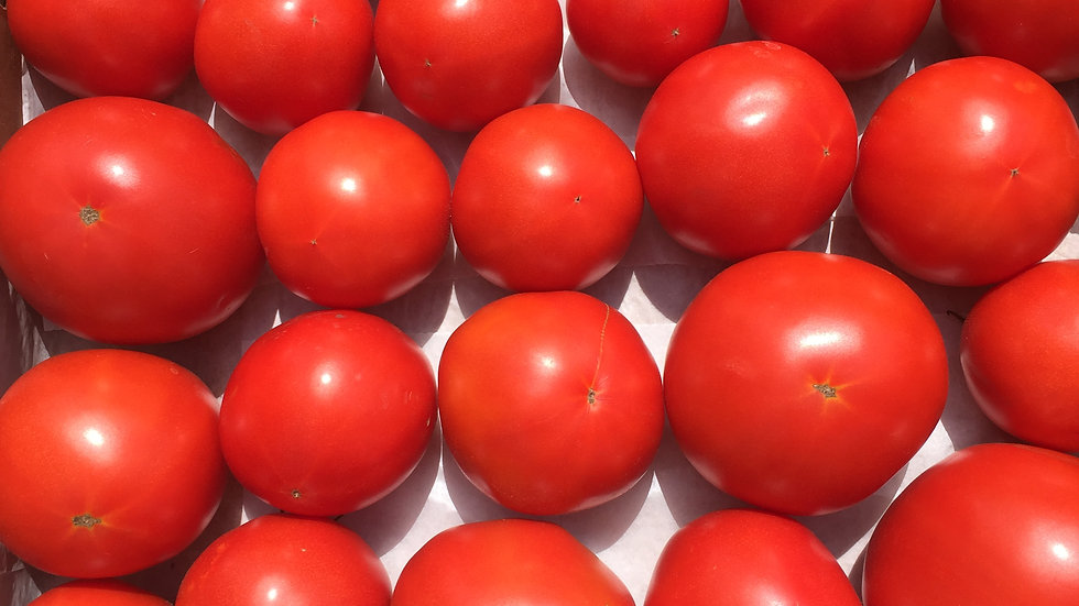 """Slicer/Large Fruit Tomatoes, 4.5""""/Gallon Potted Plants"""