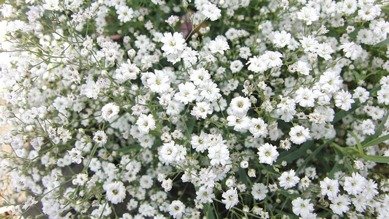 Baby's Breath, 4-pack Plants