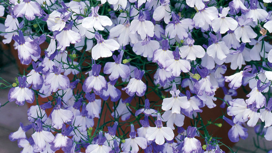 "Lobelia ""Blue Splash"" - 4 pack plants"