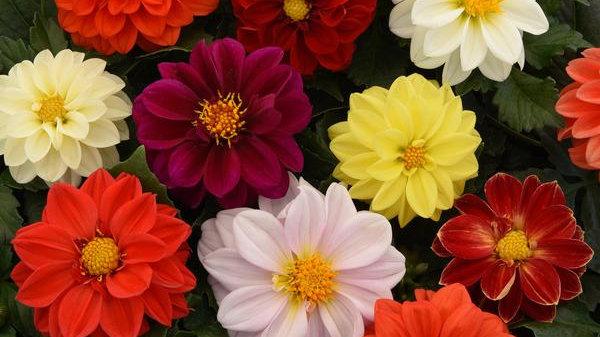 "Dahlia ""Figaro Mix"", 4-pack Plants"