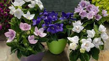 "Balloon Flower, 4"" Potted Plant"