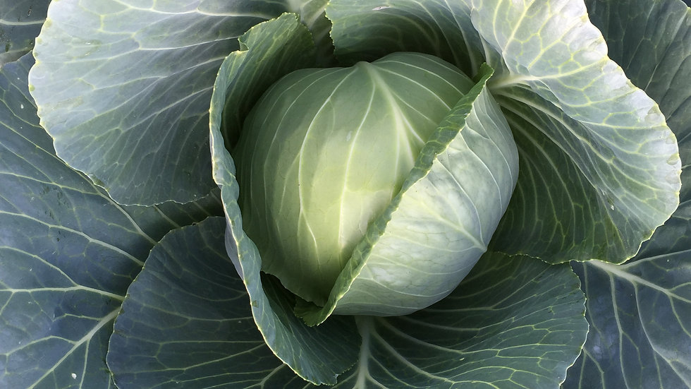 "Green Cabbage ""Earliana"", 4-pack Plants"