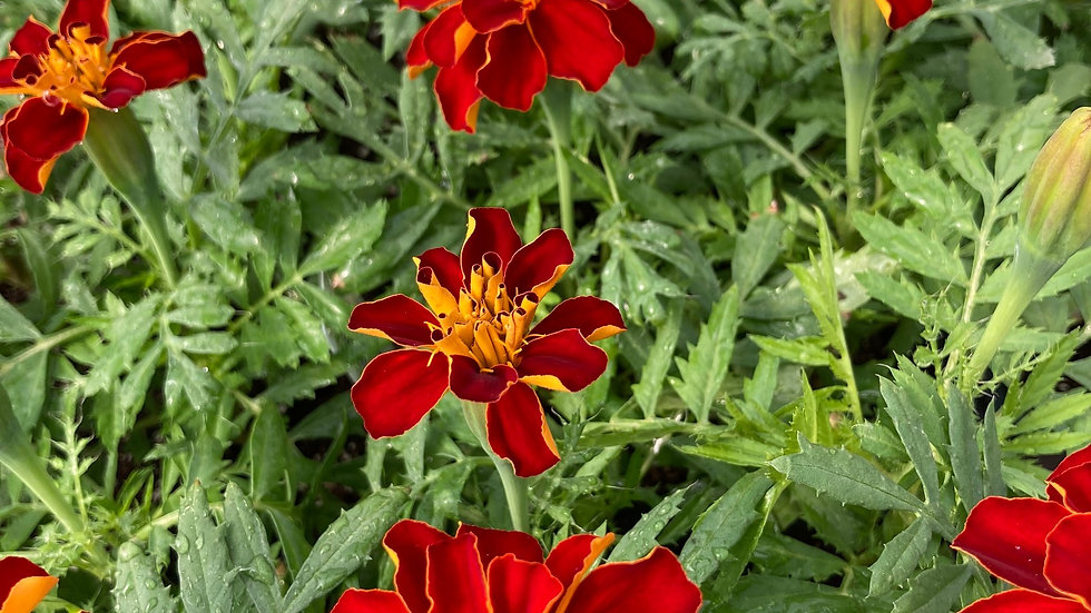 "Marigold ""Durango Red"", 4-pack Plants"
