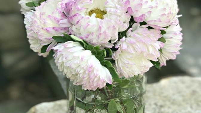Aster, 4-pack Plants