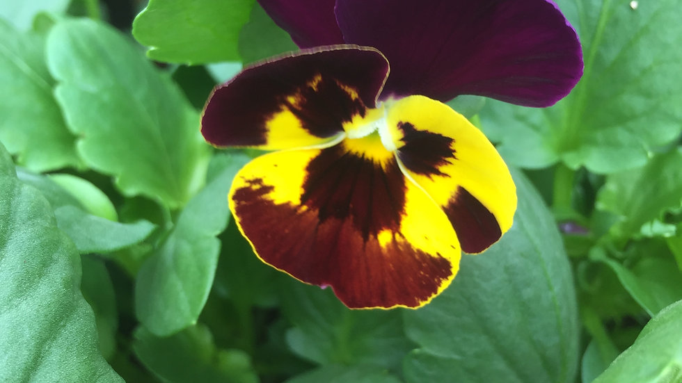 """Pansy - """"Swiss Giants"""", 4-pack Plants"""