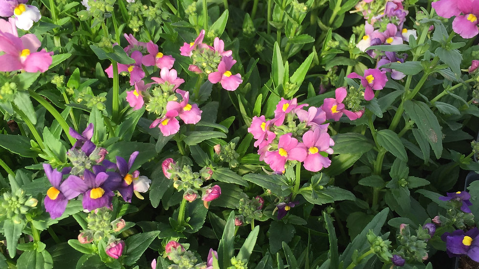 Nemesia, 4-pack Plants