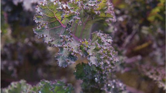 """Kale """"Scarlet"""", 6-pack Plants"""