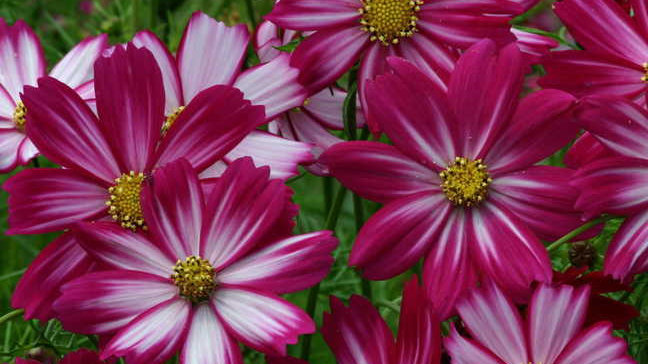 """Cosmos """"Peppermint Candy"""", 4-pack Plants"""