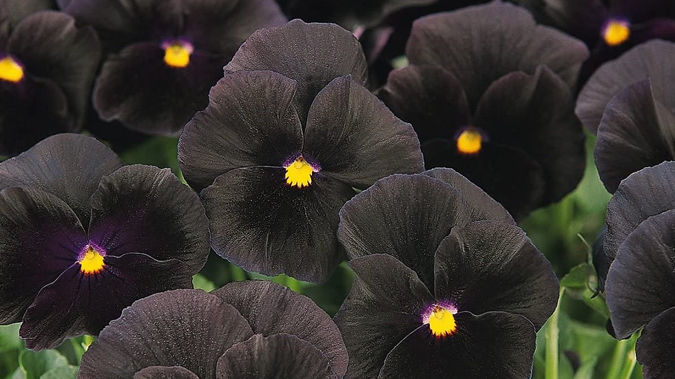 """Pansy """"Back to Black"""", 4-pack Plants"""