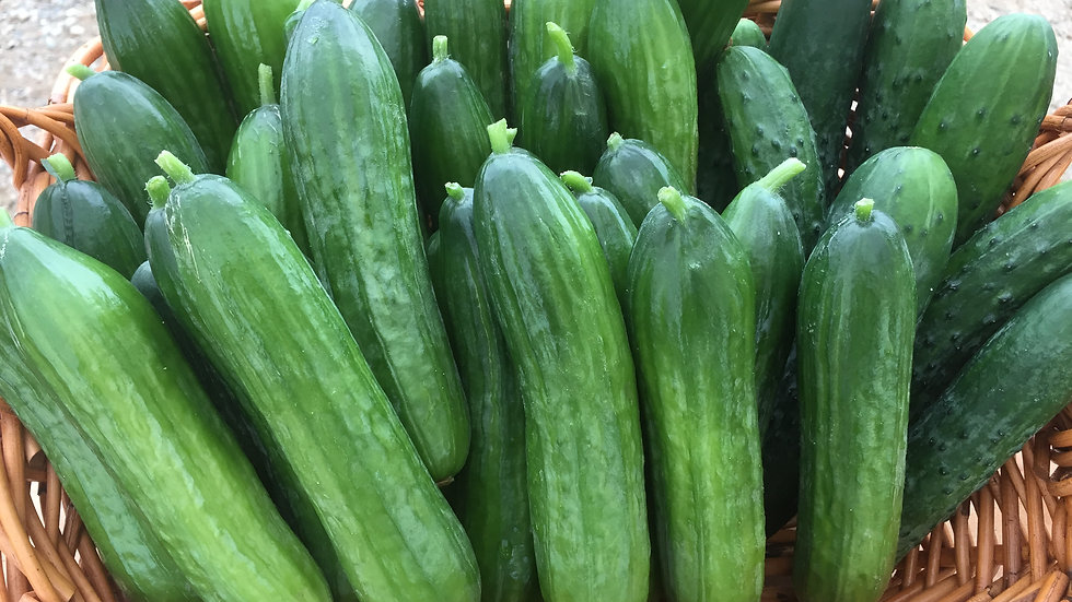 """Cucumbers, 3"""" Potted Plant"""