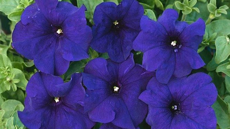 "Petunia ""Aladdin Blue"", 2-pack Plants"