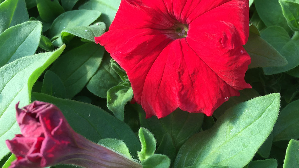 "Petunia ""Aladdin Red"", 2-pack Plants"