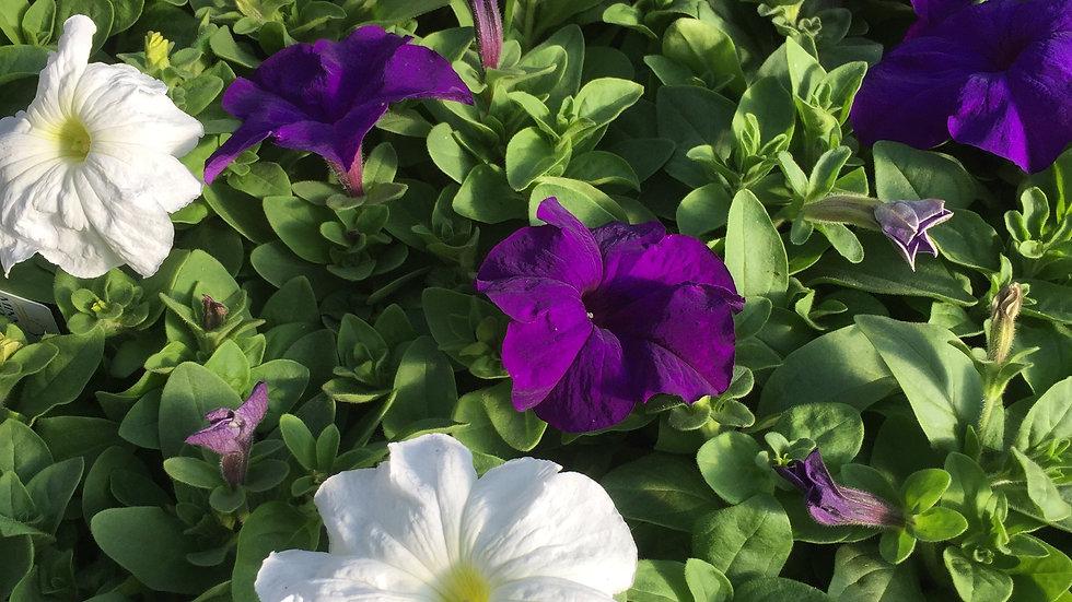 "Petunia ""Nautical Mix"", 4-pack Plants"