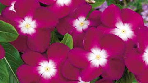 "Vinca ""Burgundy"", 6-pack Plants"