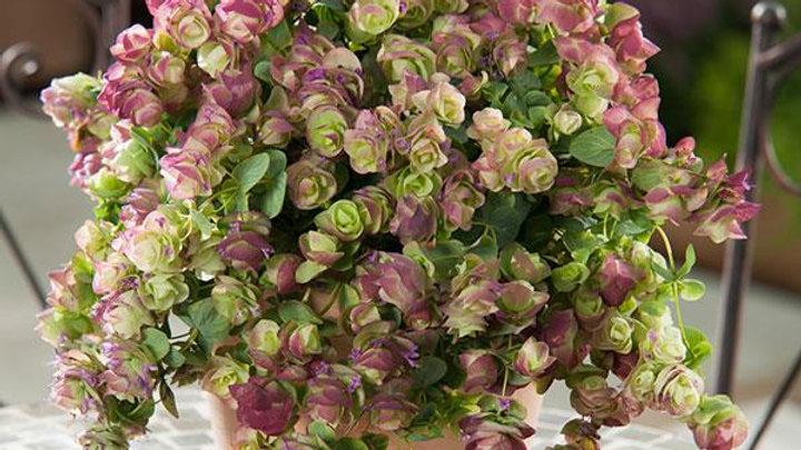 """Ornamental Oregano, 4"""" Potted Plant"""