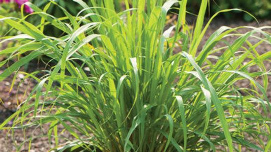 """Lemon Grass, 4.5"""" Potted Plant"""
