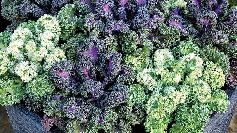 "Ornamental Kale, 4"" Potted Plant"
