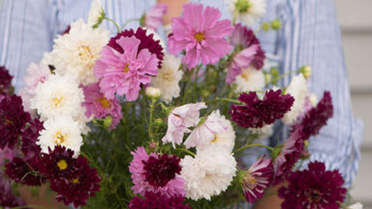 """Cosmos """"Double Click"""", 4-pack Plants"""