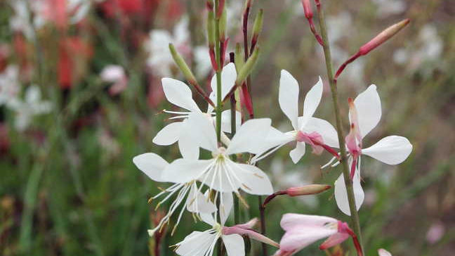 """Gaura, 4.5"""" Potted Plant"""