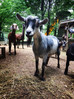5 Fun facts about Goats