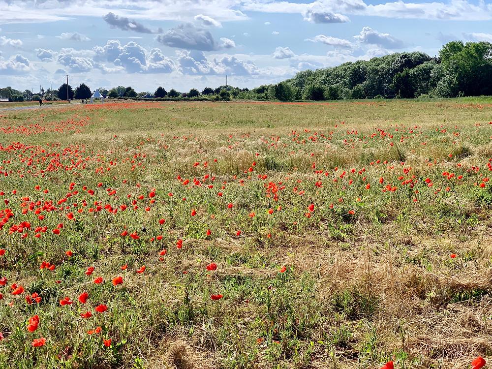 Poppies at Ver-sur-Mer