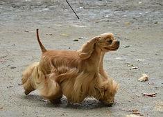 chiens-American-Cocker-Spaniel-28dd1cdc-
