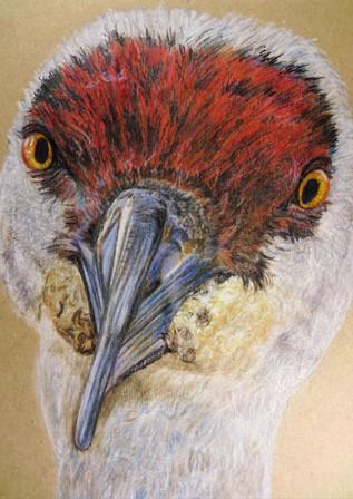Sandhill Crane - Birdi Sinclair - Clair Arts