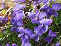 scented-violets-1077136_960_720.jpg