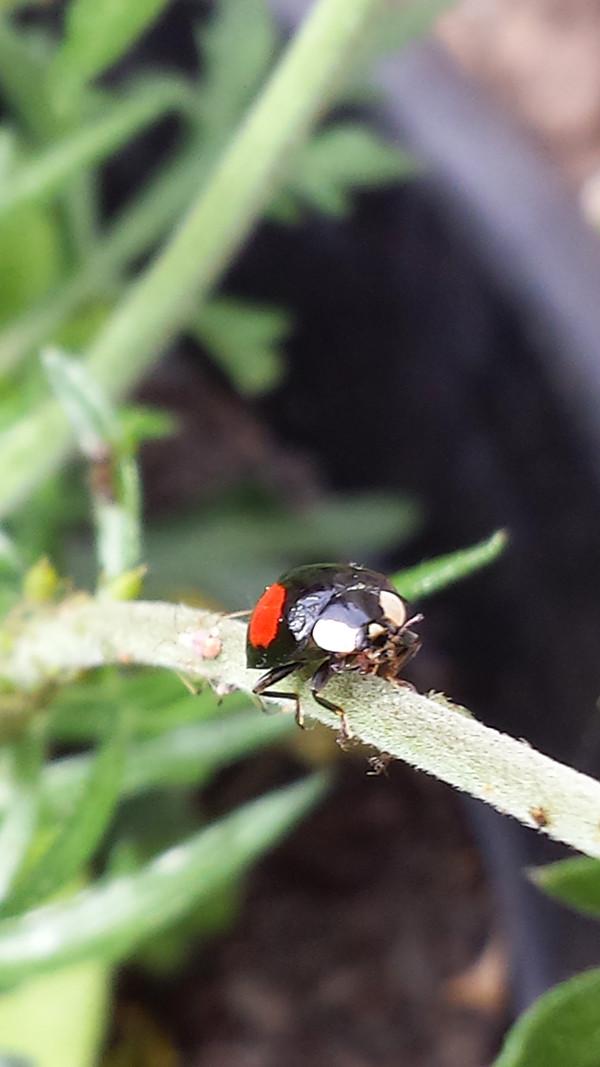 Sarah Rees Garden blog pic 72 ladybird.jpg