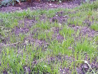 Grass shoots