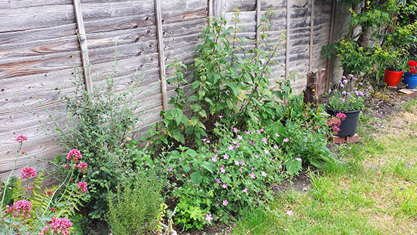 Sarah Rees Garden Blog Pic 106 wild geraniums.jpg