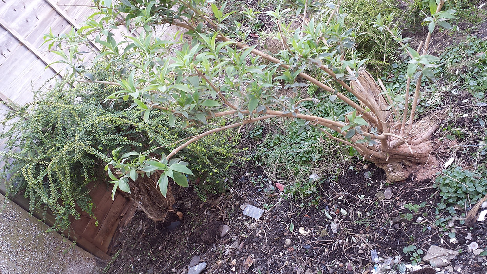 Sarah Rees Garden Blog Pic 20 closer look at pot bound bush.jpg