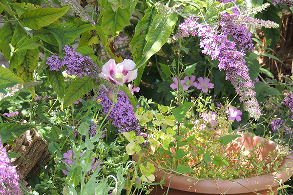 Sarah Rees Garden Blog Pic 148 poppy and buddleia.JPG