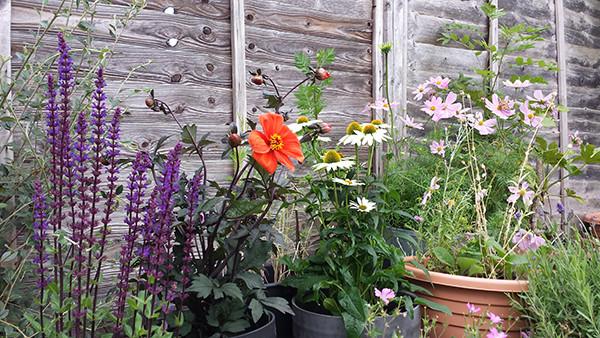 Sarah Rees Garden Blog Pic 197 dahlia and echinacea.jpg