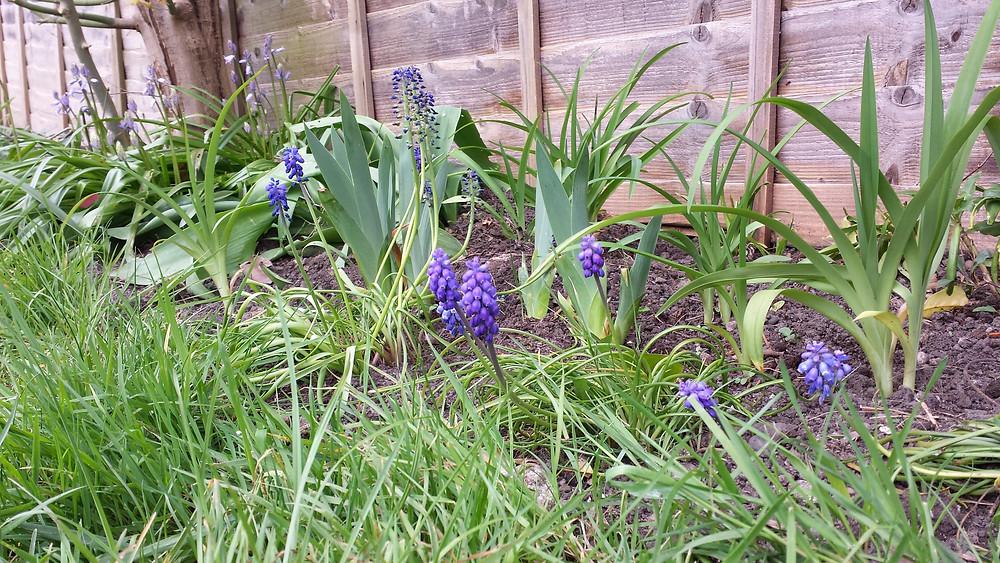 Sarah Rees Garden Blog Pic 31 Muscari Flowers.jpg