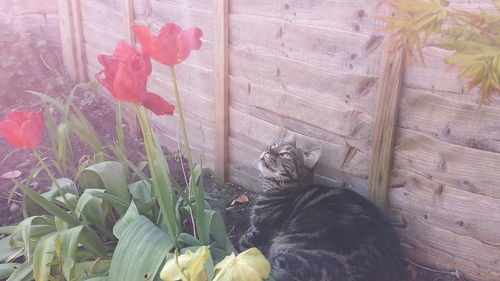 Sarah Rees Garden Blog Pic 39 cat and tulips.jpg