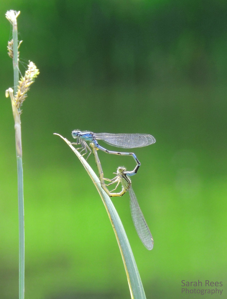 Damselfly mating