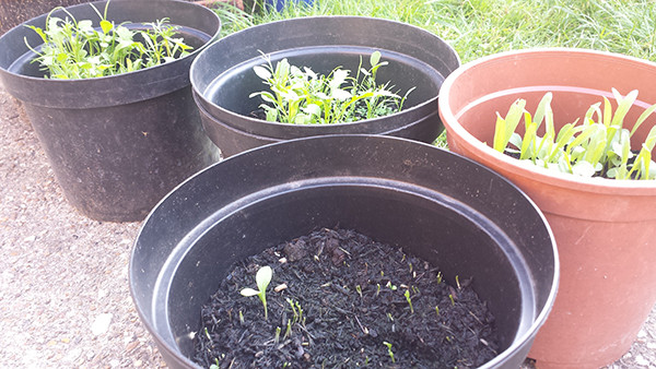 Sarah Rees Garden Blog Pic 190 second wave of seedlings.jpg