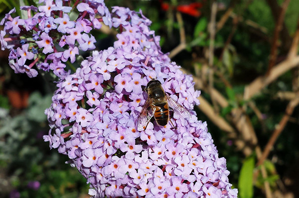 Sarah Rees Garden Blog Pic 236 hoverfly.jpg