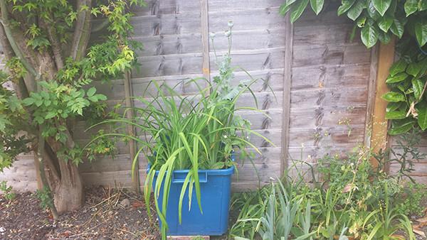 Sarah Rees Garden Blog Pic 164 lilies.jpg
