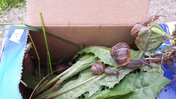 Sarah Rees Garden Blog Pic 167 snail translocation.jpg