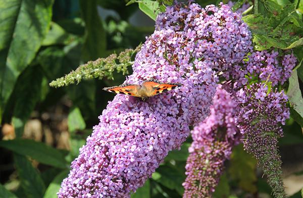 Sarah Rees Garden Blog Pic 154 Tortoiseshell Butterfly.JPG
