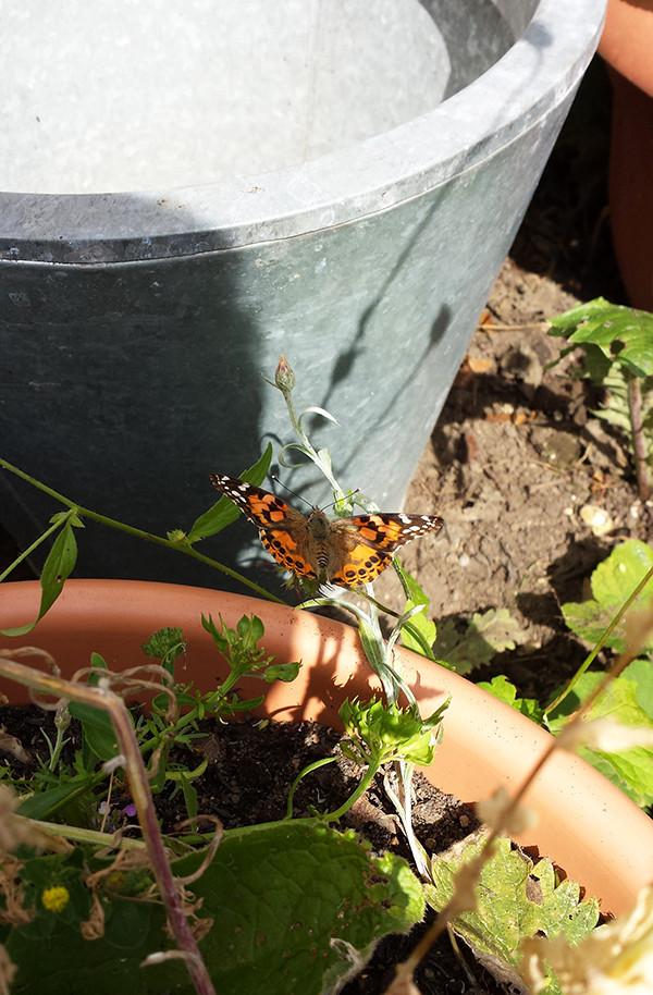 Sarah Rees Garden Blog Pic 179 butterfly.jpg