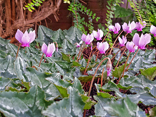 The cyclamen plant is thriving