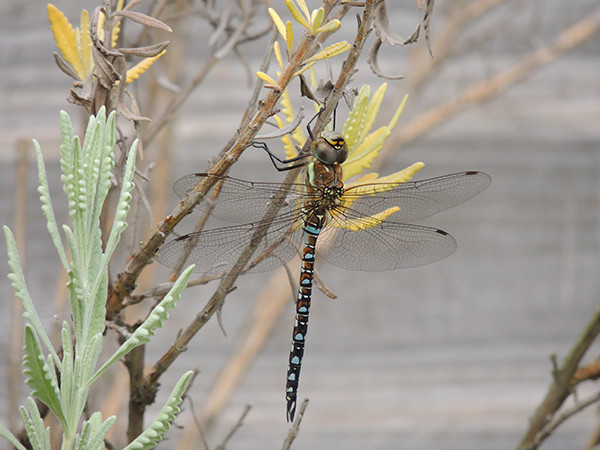 Sarah Rees Garden Blog Pic 274 hawker dragonfly on lavender tree.jpg