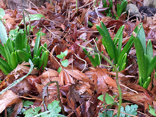 Chunky bluebell shoots