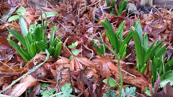 Sarah Rees Garden Blog Pic 341 bluebell shoots.jpg